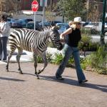 zebra - 01