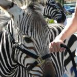 zebra - 02